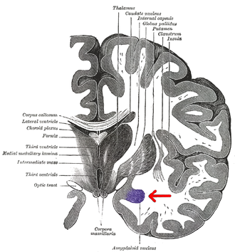 Basolateral amygdala - Coronal section of brain through intermediate mass of third ventricle. Amygdala is shown in purple.