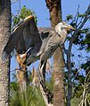 Great Blue Heron - Flickr - Andrea Westmoreland.jpg