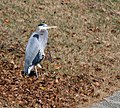 Great Blue Heron VB 3.jpg