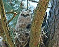 Great Horned Owl (Bubo virginianus) RWD.jpg
