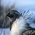 Greater Sage-Grouse.jpg