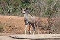 Greater kudu in Kruger National Park 02.jpg