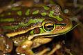 Green&Golden Bell Frog (Litoria aurea) (8398142360).jpg