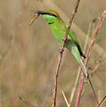 Green Bee-eater (Merops orientalis) with a Dragonfly, AP W IMG 1626.jpg