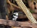 Green Kingfisher (Chloroceryle americana) (6776609719).jpg
