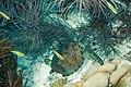 Green turtle Chelonia mydas (2407717429).jpg