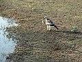 Greifvogel Yala National Park 2017-10-26 (1).jpg