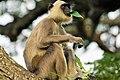 Grey Langur feeding on Papaya leaves in Thissamaharama.jpg