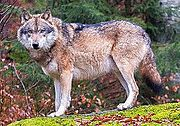 Grey wolves in Bavarian Forest National Park (cropped).jpg