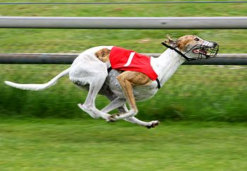 English: Greyhound racing