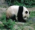 Großer Panda Bao Bao Berlin W 06.jpg