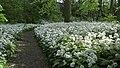 Groningen - Sterrebos - daslook (1).jpg
