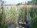 Grosser Zernsee - Schilfguertel (Reed Belt) - geo.hlipp.de - 36859.jpg