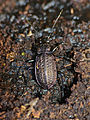 Ground Beetle (Carabus granulatus) hibernating in dead wood (13536152215).jpg