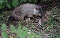 Groundhog (37614316726).jpg