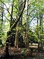 Gruppo di cipressi calvi a primavera.jpg