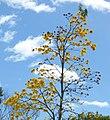 Guayacán amarillo (Tabebui a chrysantha) (14794655271).jpg