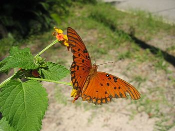 Photo of an Gulf Fritillary (Agraulis vanillae...
