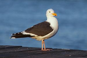 Gull 4837.jpg