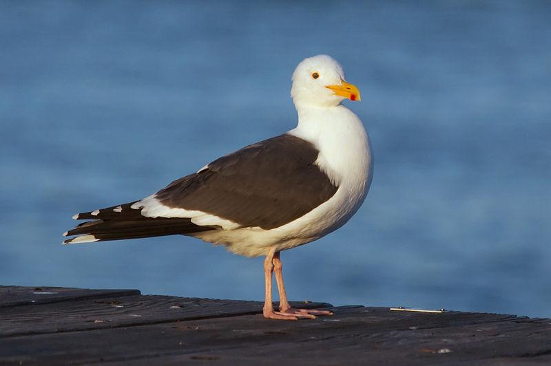 File:Gull 4837.jpg