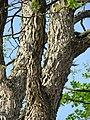 Gymnocladus dioicus Berlin Lichtensteinallee TP09.jpg