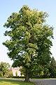 Gymnocladus dioicus JPG1a.jpg