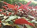HKU 香港大學 PFL campus 薄扶林校園 red n green leaves 紅背桂花 Excoecaria cochinchinensis April 2019 SSG 02.jpg