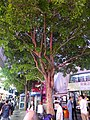 HK 尖沙咀 TST 梳士巴利道 Salisbury Road tree n visitors evening October 2016 DSC.jpg