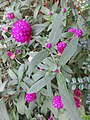 HK 灣仔 Wan Chai 囍匯 The Avenue Rooftop Garden terrace plants Oct 2017 IX1 purple flower ball green sword leaves 01.jpg