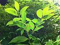 HK Admiralty 添馬公園 Tamar Park tree 陰香 Cinnamomum burmannii Nov-2013 023.JPG