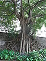HK Sheung Wan 上環 醫院道 Hospital Road Chinese Banyan Tree root June-2012.JPG