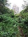 HK hiking 香港 VP 維多利亞山頂 Victoria Peak 舊山頂道 Old Peak Road flora green leaves April 2020 SSG 04.jpg