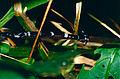 Hammerhead Flatworm (Bipalium sp.) - Niah Caves NP, Sarawak, Malaysia - Scanned slide from 2001 (2).jpg
