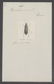Harpalus - Print - Iconographia Zoologica - Special Collections University of Amsterdam - UBAINV0274 011 06 0002.tif