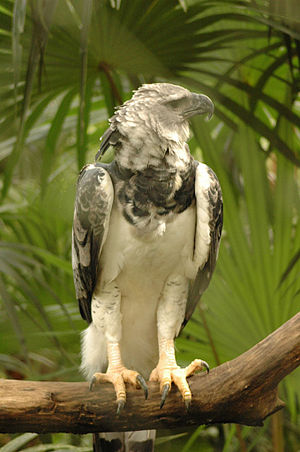 Darién National Park - Harpy eagle