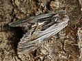Harpyia milhauseri ♂ - Tawny prominent (male) - Шелкопряд Мильгаузера (самец) (41093839052).jpg