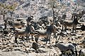 Hartmann zebras hobatereS.jpg