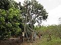 Harvesting of Lychees Fruit, Golvad, Dahanu - panoramio.jpg