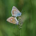 Hauhechel-Bläuling, Polyommatus icarus Paarung 3.JPG