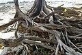 Havelock Island, Tree roots on the beach, Andaman Islands.jpg
