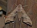 Hawkmoth (Polyptychoides grayii) (12885826444).jpg