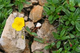 Helianthemum oelandicum ENBLA03.jpeg