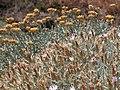 Helichrysum 2007 06 02 024 particolare.jpg