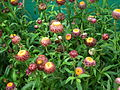 Helichrysum bracteatum or Xerochrysum bracteatum from Lalbagh Flower Show August 2012 4595.JPG