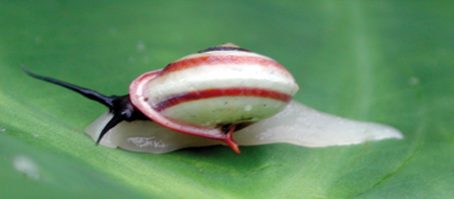Helicina rhodostoma.png