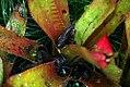 Heliconia psittacorum Sassy 2zz.jpg