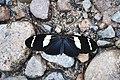 Heliconius wallacei flavescens (Nymphalidae- Heliconiinae- Heliconiini) (29749639535).jpg
