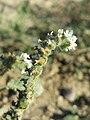 Heliotropium europaeum sl27.jpg