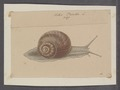 Helix pomatia - - Print - Iconographia Zoologica - Special Collections University of Amsterdam - UBAINV0274 089 01 0008.tif