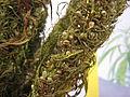 Hemp bunch-dried out -seeds close up PNr°0063.jpg